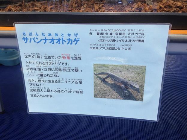 ふれあい動物園 - 08:サバンナオオトカケゲ