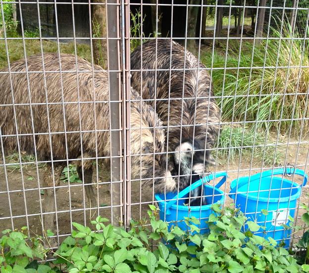 東山動植物園:食事中のエミュー - 3