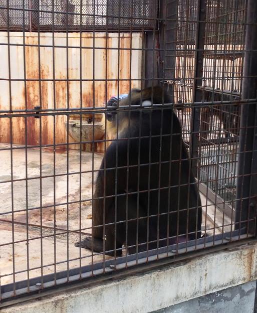 東山動植物園:考え事をしてる(?)マンドリル