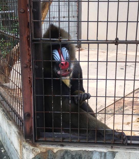 東山動植物園:マンドリル - 2