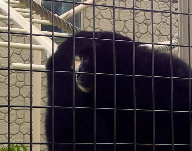 東山動植物園:真っ黒で手が長い「フクロテナガザル」 - 2
