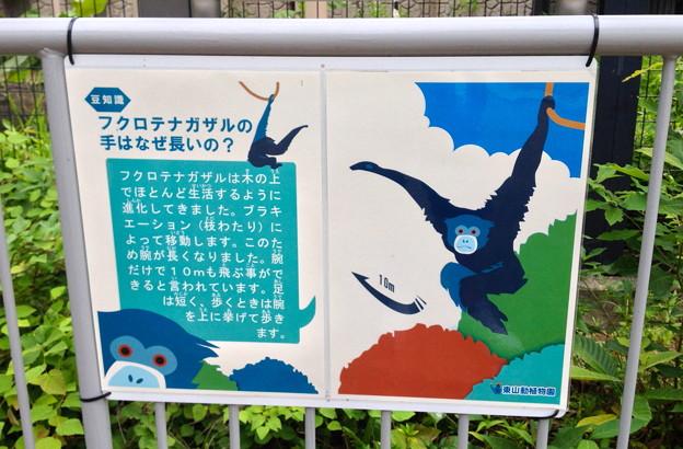 東山動植物園:真っ黒で手が長い「フクロテナガザル」 - 3