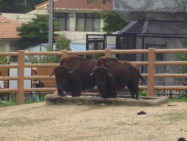 東山動植物園:2頭並んで水場に足を入れるアメリカバイソン - 1