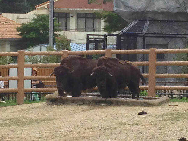 Photos: 東山動植物園:2頭並んで水場に足を入れるアメリカバイソン - 1