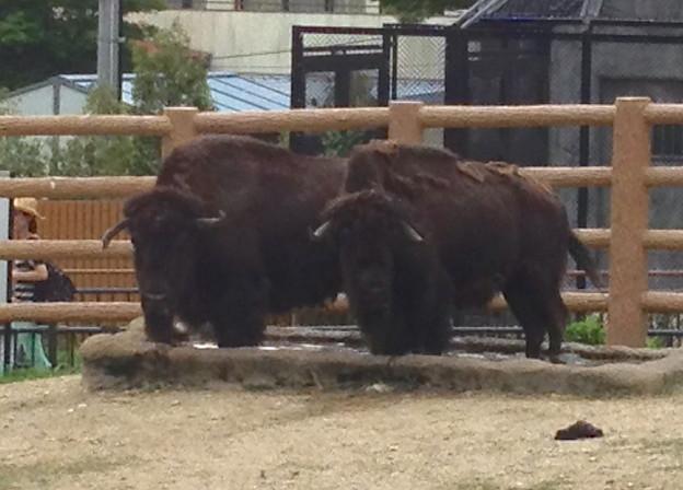 東山動植物園:2頭並んで水場に足を入れるアメリカバイソン - 2
