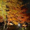 写真: 東山植物園 紅葉ライトアップ 2013 最終日 No - 18