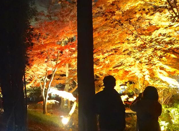 Photos: 東山植物園 紅葉ライトアップ 2013 最終日 No - 21