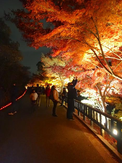 写真: 東山植物園 紅葉ライトアップ 2013 最終日 No - 41