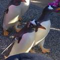 名古屋港水族館ペンギンよちよちウォーク 2013年12月 No - 08