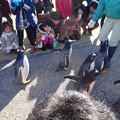 写真: 名古屋港水族館ペンギンよちよちウォーク 2013年12月 No - 14