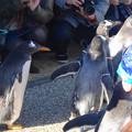 写真: 名古屋港水族館ペンギンよちよちウォーク 2013年12月 No - 22
