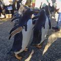 写真: 名古屋港水族館ペンギンよちよちウォーク 2013年12月 No - 29