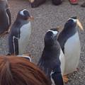 写真: 名古屋港水族館ペンギンよちよちウォーク 2013年12月 No - 32