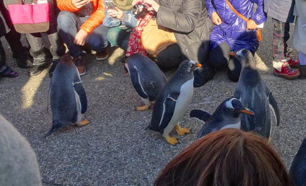 写真: 名古屋港水族館ペンギンよちよちウォーク 2013年12月 No - 33