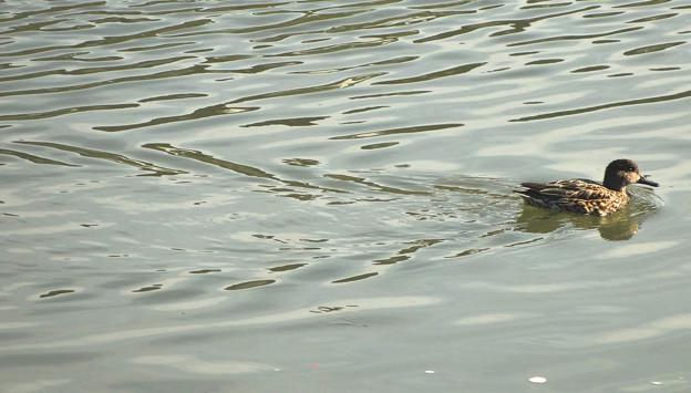 カモが泳いでできた、水面の波紋 - 1