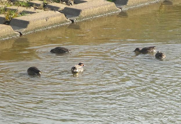 南から北へ移動中?数も種類も増えてた、八田川のカモ - 2
