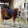 犬山乗馬クラブにいたポニー - 1