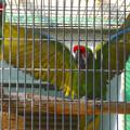 東山動植物園の動物たち No - 39:ケンカ?それともメスへのアピール?…をしてた、ミドリコンゴウインコ
