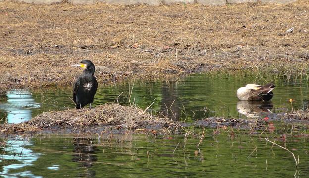 東山動植物園の動物たち No - 49:ボート池にいた川鵜(カワウ)とアイガモ
