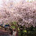 ぼたん桜が咲きました
