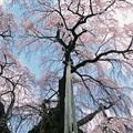 三春滝桜 -樹下より-