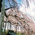 三春滝桜 -しだれ桜-