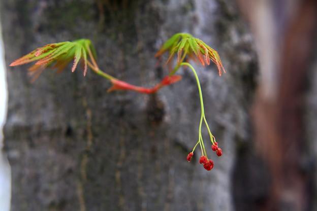 楓の花と若葉