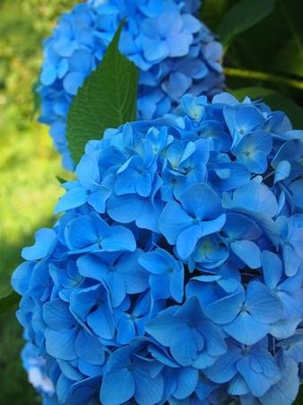 山紫陽花〜鮮やか♪ (1)