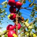 写真: 姫りんごの木