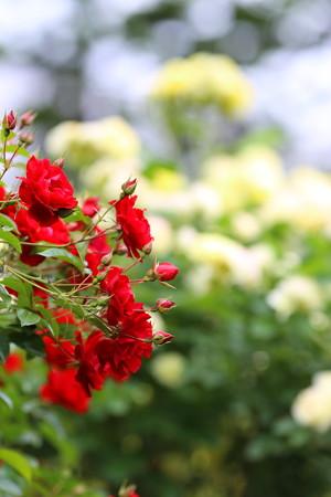 薔薇園19