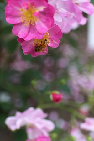 薔薇園59
