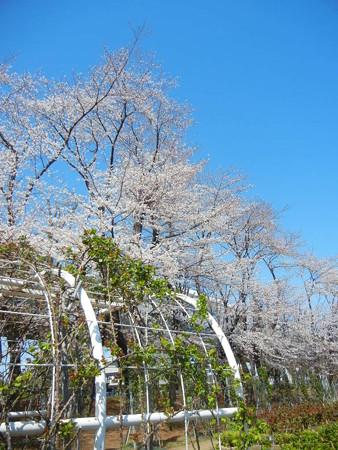 与野公園の桜 (3)