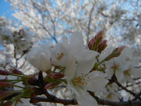 与野公園の桜 (7)