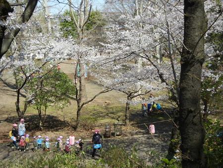 与野公園の桜 (15)