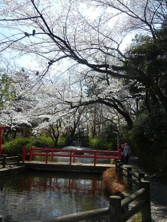 与野公園の桜 (18)