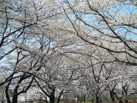 与野公園の桜 (47)