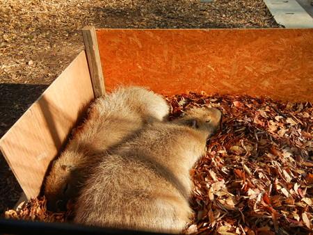 巣なのか?落ち葉の中で居眠り中zzz