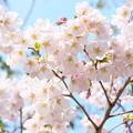 眩しかった 桜の花