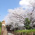 青空とブライスと桜