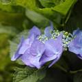 写真: 6月1日の紫陽花