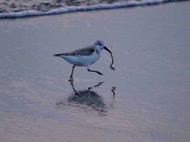 餌を捉えたミユビシギ@湘南・鵠沼海岸 #湘南 #藤沢 #海 #波 surfing #wave #mysky #鳥