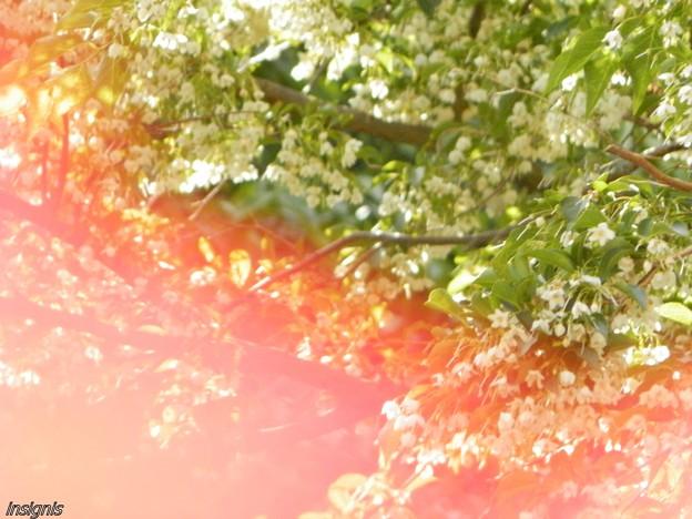 エゴノキの花 ?