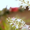 シルバープリペッドの花 (2)