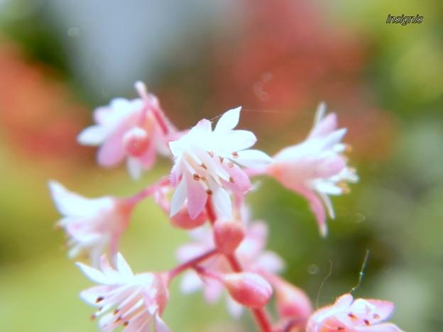 ヒューケラの花 カラーリーフの絵の具の中で (4)