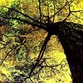 Japanese Red Pine ...........