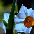 Narcissus tazetta var. chinensis...........