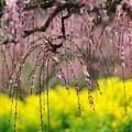 写真: 春告草
