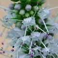 写真: ペパーミントの花