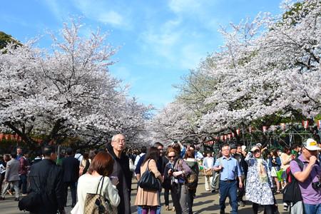 桜の道@上野公園 [3/28]