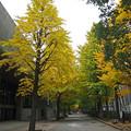 Photos: 文化会館の銀杏並木650c